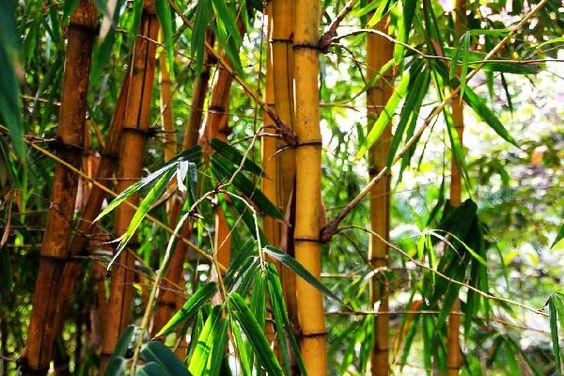 Pure Bambou