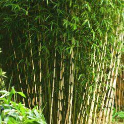 Le bambou c'est en Asie