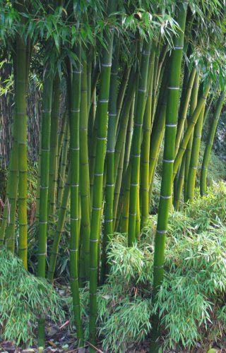 Au coeur du bambou